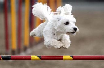 собака в прыжке через барьер